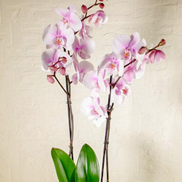 Squire Pot Orchids Office Plants Plant Arrangement