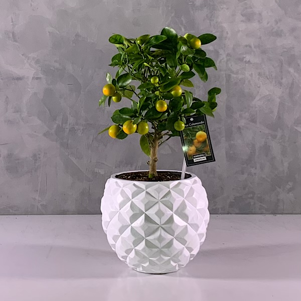 Citrina bonsai citrus Premium Collection Indoor Plants