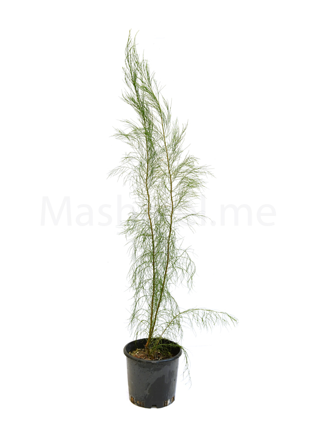 ‏Casuarina Equisetifolia⁠ Outdoor Plants Shrubs