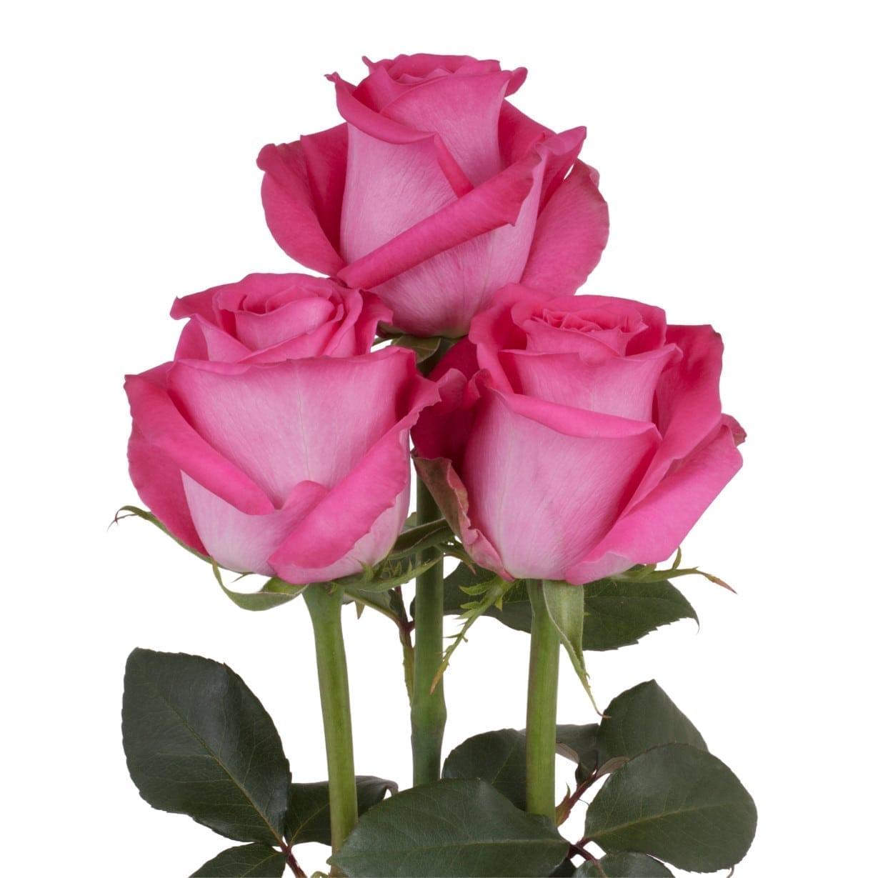 Rose Fuschia Wholesale Flowers Cut Flowers