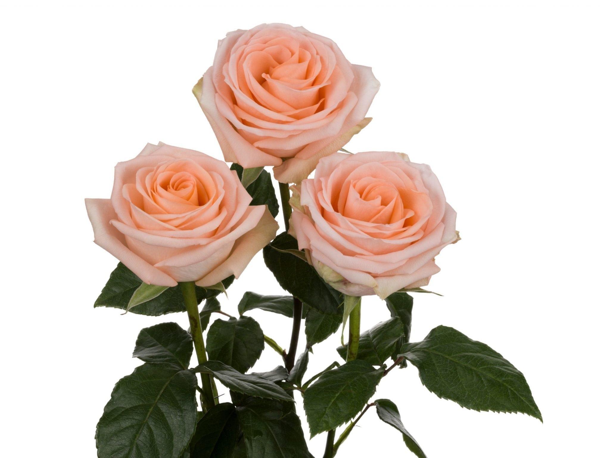 جوري - مشمشي  الزهور بالجملة زهور مقطوفة