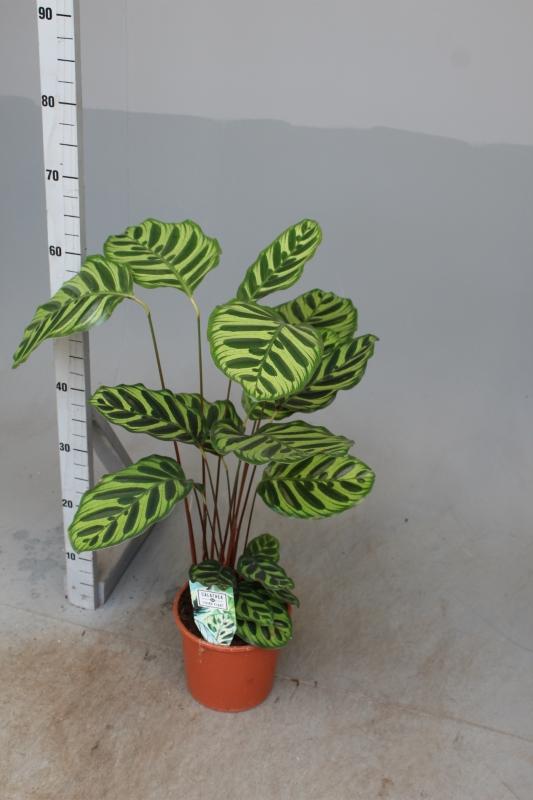Calathea Makoyana  Indoor Plants Shrubs