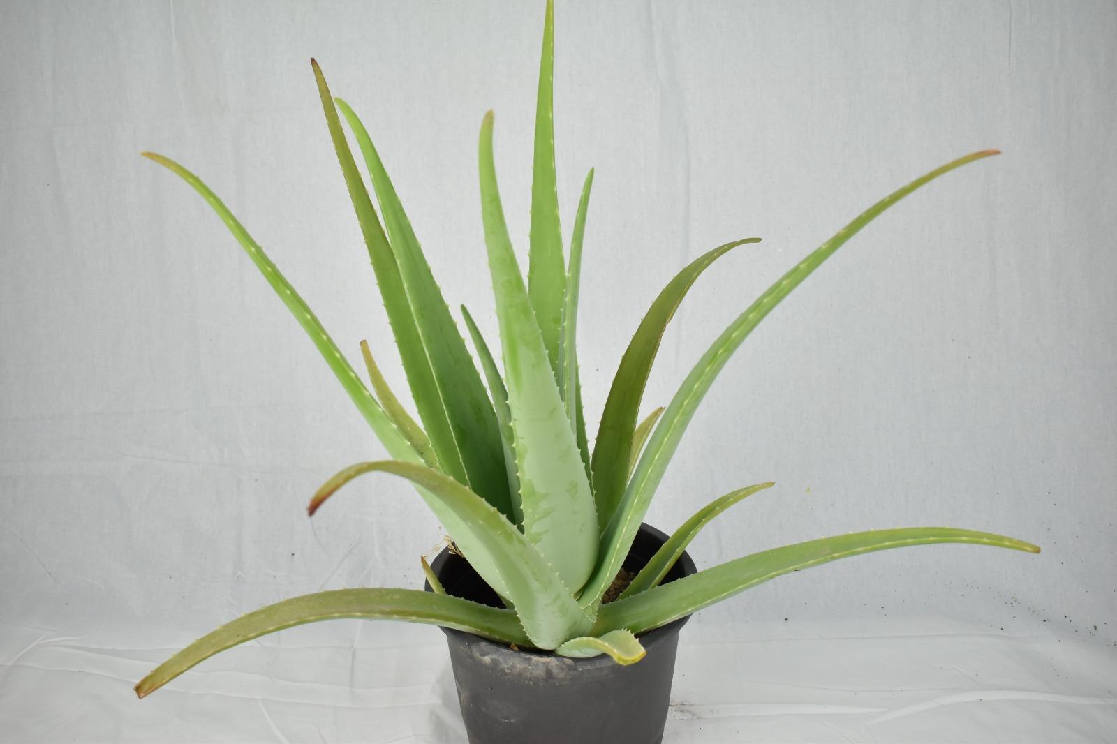 صبر حقيقي نباتات داخلية عصاري
