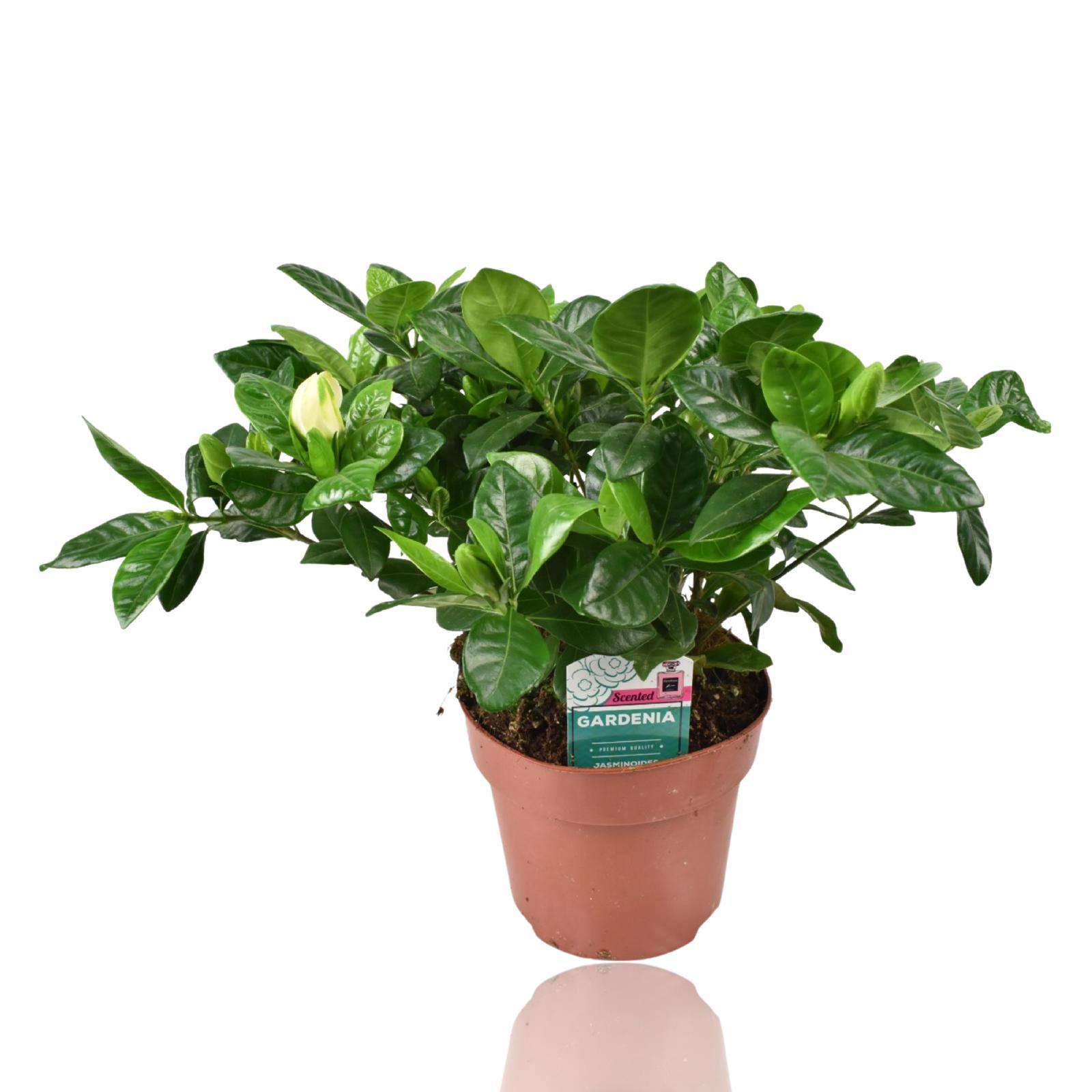 Gardenia Jasminoides Indoor Plants Flowering Plants