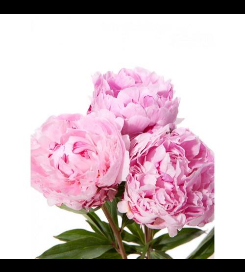 الفاوانيا - وردي  الزهور بالجملة زهور مقطوفة