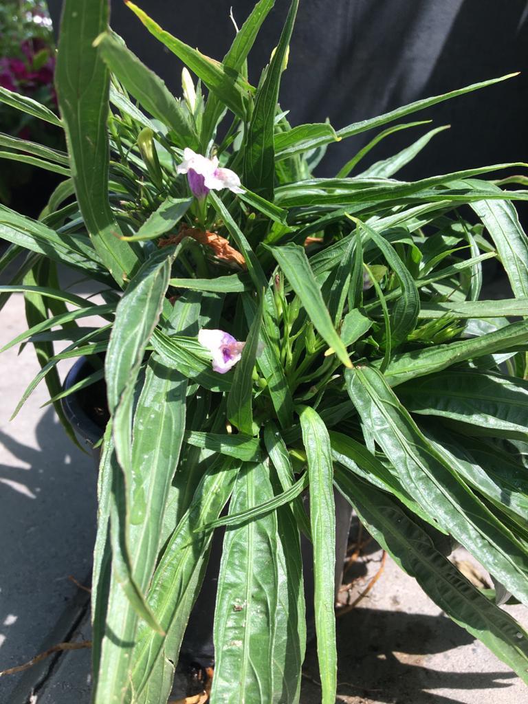 نبات رويليا نباتات خارجية شجيرات