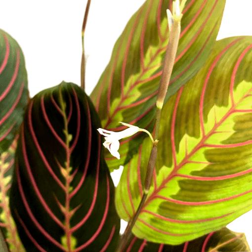Maranta Leuconeura Indoor Plants Shrubs