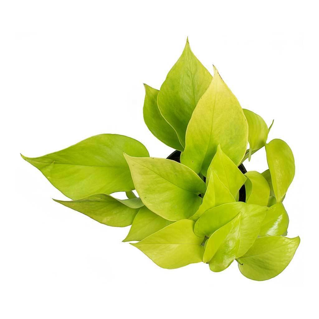 فيلوديندرون نيون نباتات داخلية شجيرات