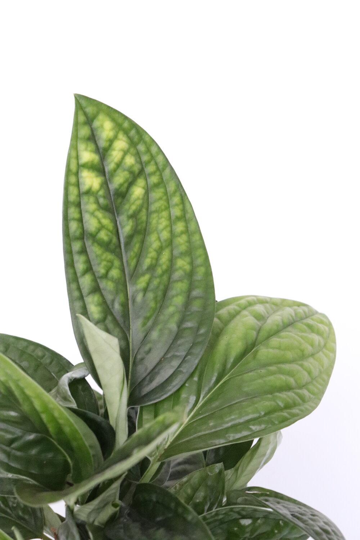 نبات اللبلاب نباتات داخلية شجيرات