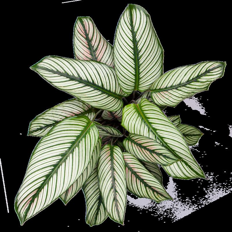 كالاتيا ماجستيكا - النجم الابيض نباتات داخلية شجيرات