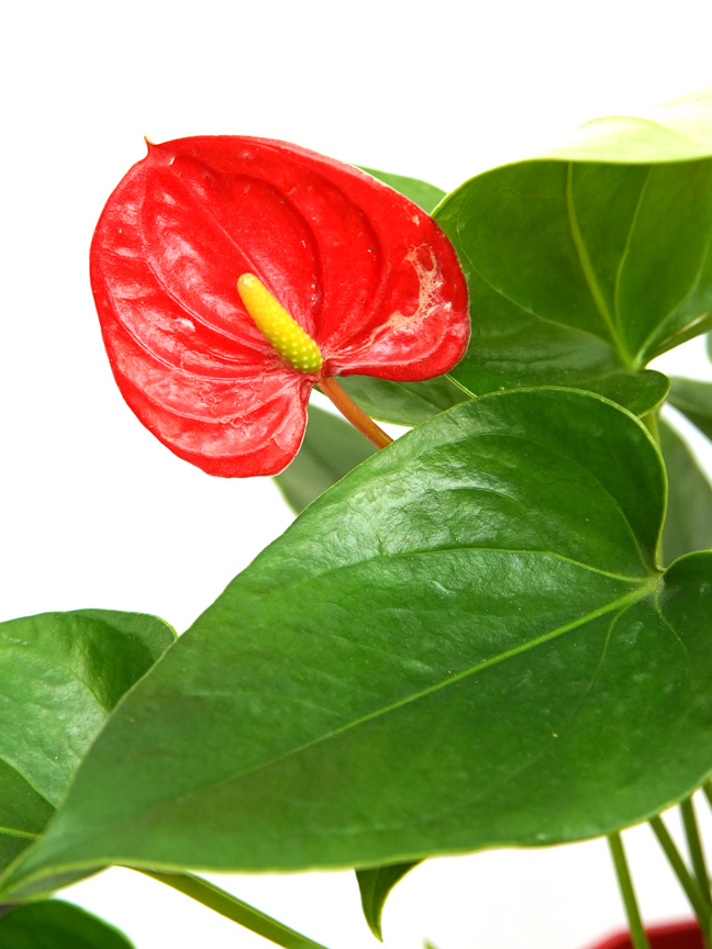 Laceleaf With Red Pot Indoor Plants Flowering Plants