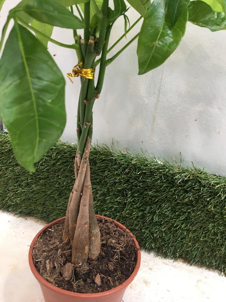 باشيرا  نباتات داخلية أشجار