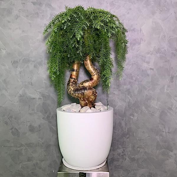 أراوكاريا لاكي بونساي التشكيلة الفخمة نباتات داخلية