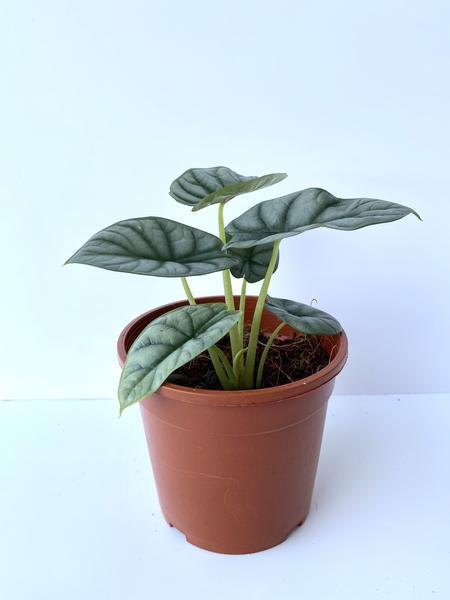 Alocasia Silver Dragon Indoor Plants Shrubs
