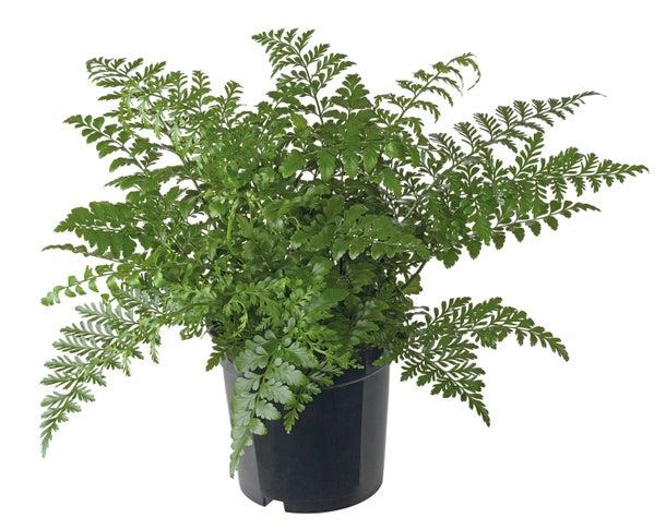 Asplenium Parvati Indoor Plants Shrubs