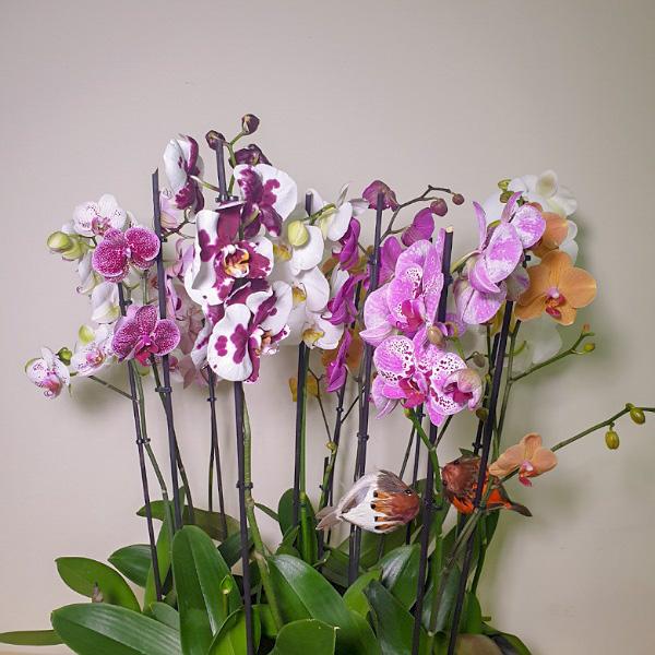 الأفضل مبيعًا # 12 التشكيلة الفخمة نباتات للمكتب