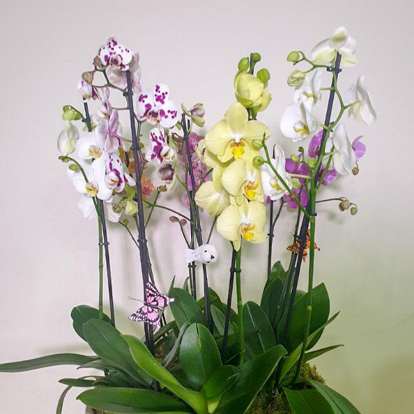 الزمرد # 11 التشكيلة الفخمة نباتات للمكتب