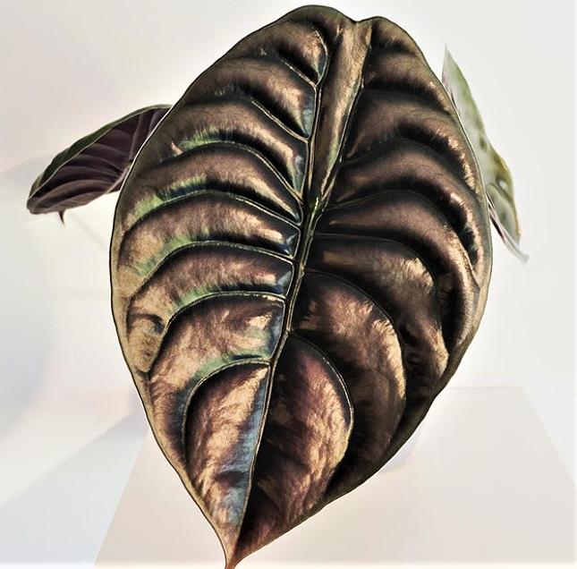 Alocasia Red Secret Indoor Plants Shrubs