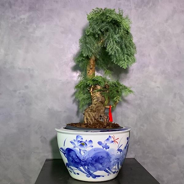 أراوكاريا كانينغامي بونساي التشكيلة الفخمة نباتات داخلية