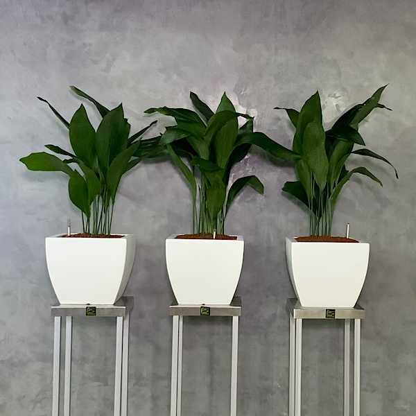 Aspidistra Trio Planters Premium Collection Office Plants