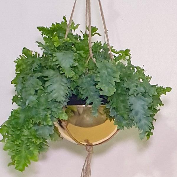 فليبو دافانا نباتات داخلية معلقة