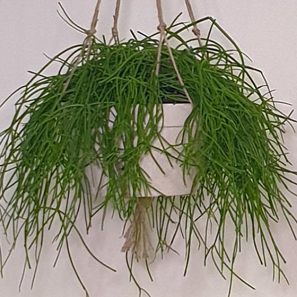 ريبساليس 12 نباتات داخلية معلقة