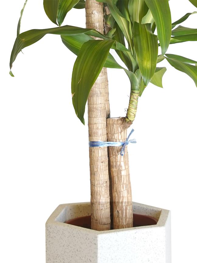 دراسينا ماسنجانا التشكيلة الفخمة نباتات داخلية