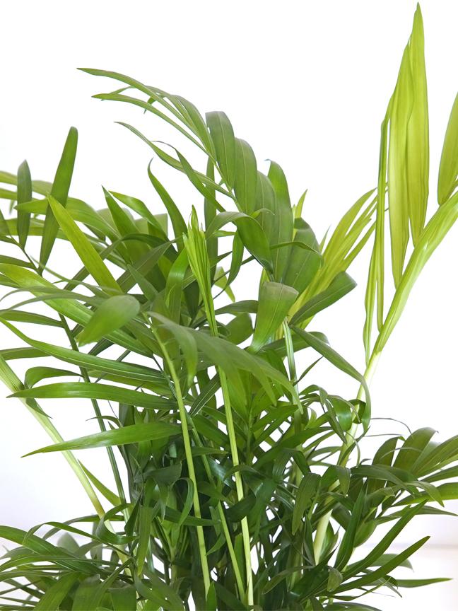 Chamaedora Ro-Cement Pot Premium Collection Indoor Plants
