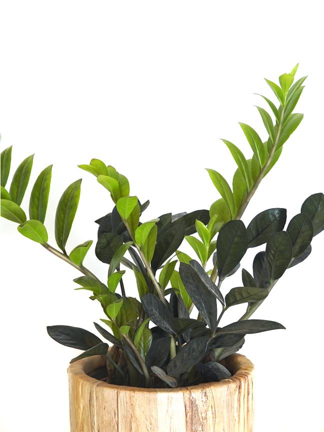 Zamioculcas Black Hyacinth Cement Pot Premium Collection Indoor Plants