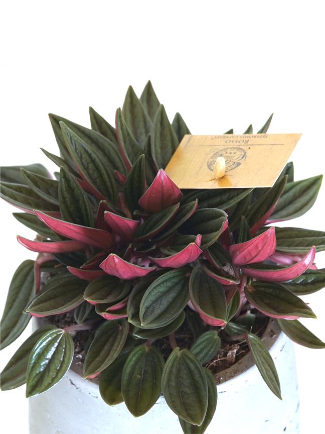 وعاء أسمنت بيبروميا روسو التشكيلة الفخمة نباتات داخلية