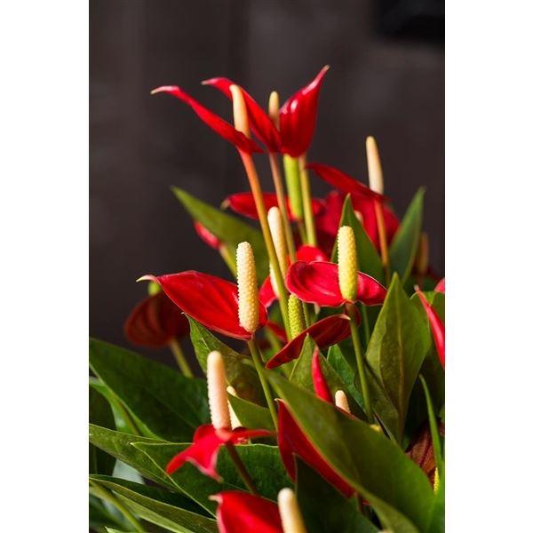 أنثوريوم - أحمر 'نباتات داخلية النباتات المزهرة