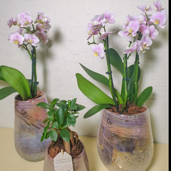 Pink Crystal 1 Premium Collection Office Plants