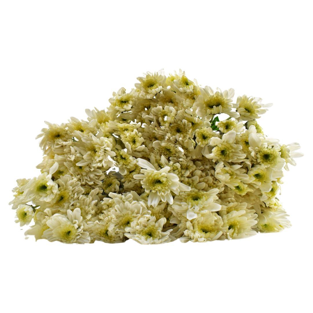 أقحوان  أبيض ' الزهور بالجملة زهور مقطوفة