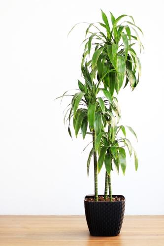 Dracaena Janet With Self Watering Pot - Black 'Premium Collection Indoor Plants