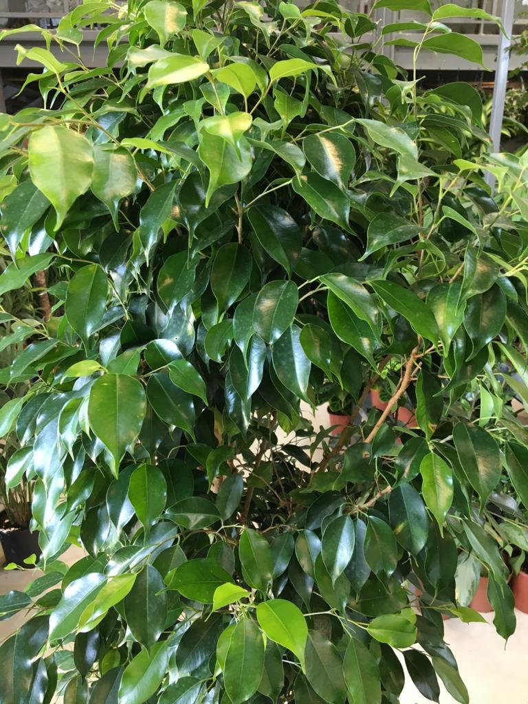 فيكس نباتات خارجية اشجار