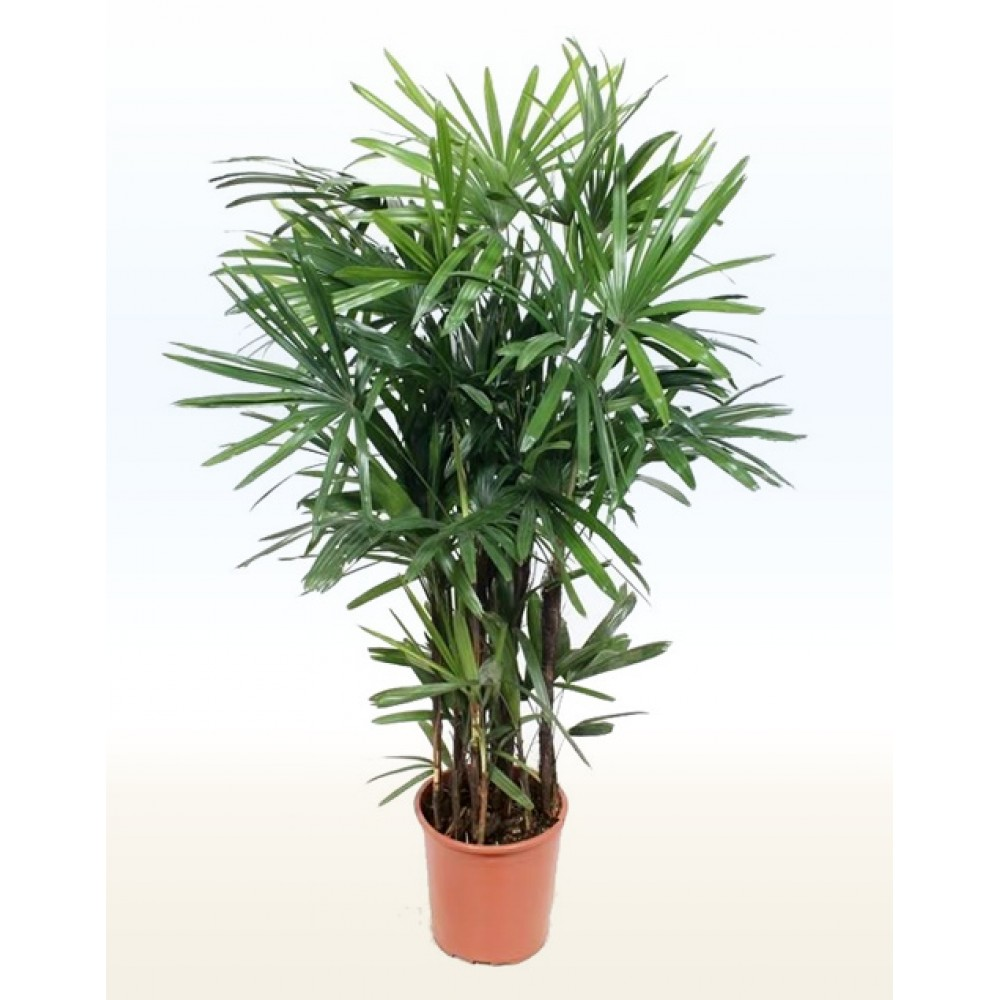 Rhapis Excelsa Indoor Plants Shrubs