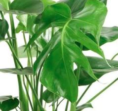 مونستيرا نباتات داخلية أشجار