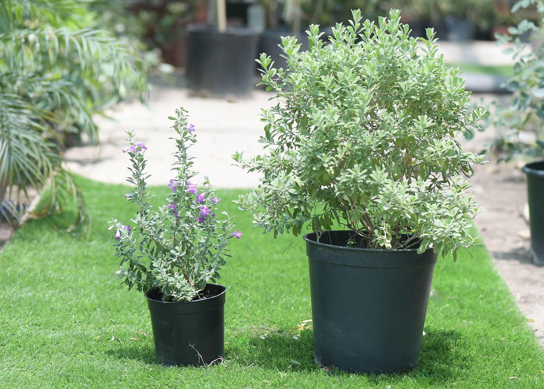 Leucophyllum Online
