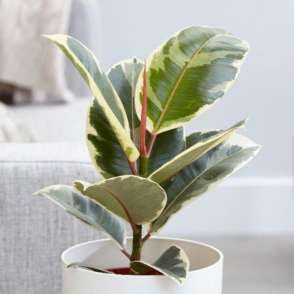 Ficus Robusta Tineke Online
