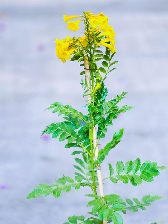 Tecomaria Yellow Online