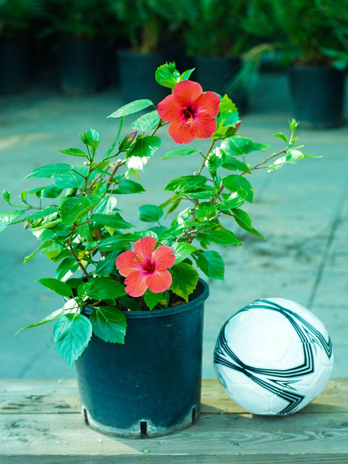 Hibiscus Red Online