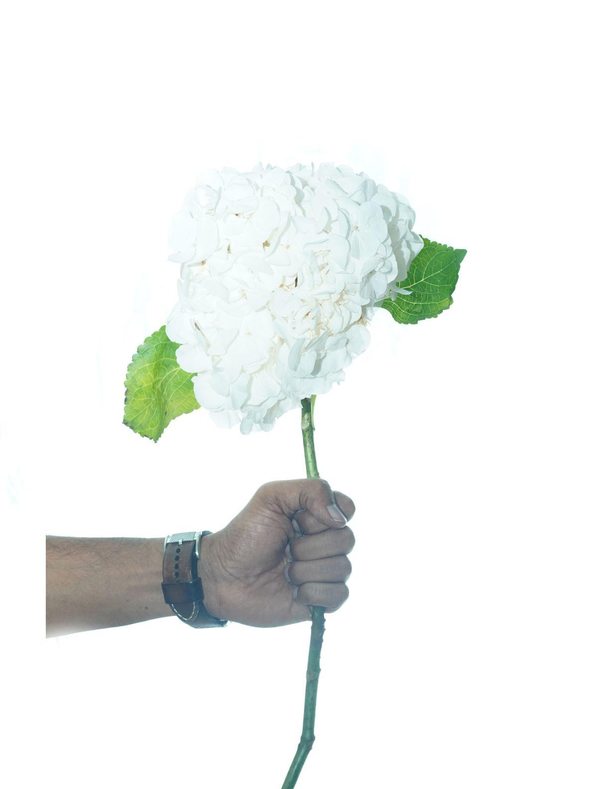 زهرة الهدرانج (أبيض) Online