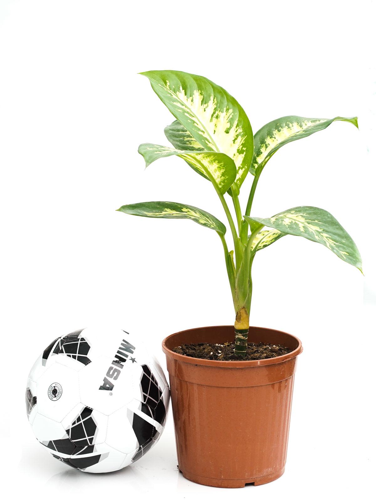 نبات الدفنبخيا تروبيك سنو Online