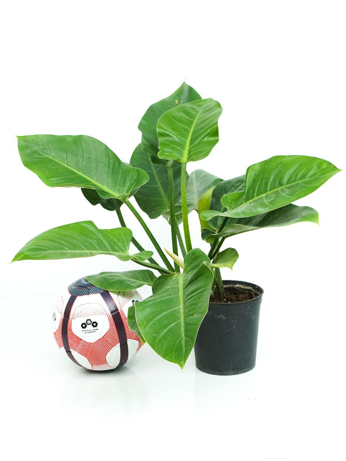 Philodendron Imperial Green  Online