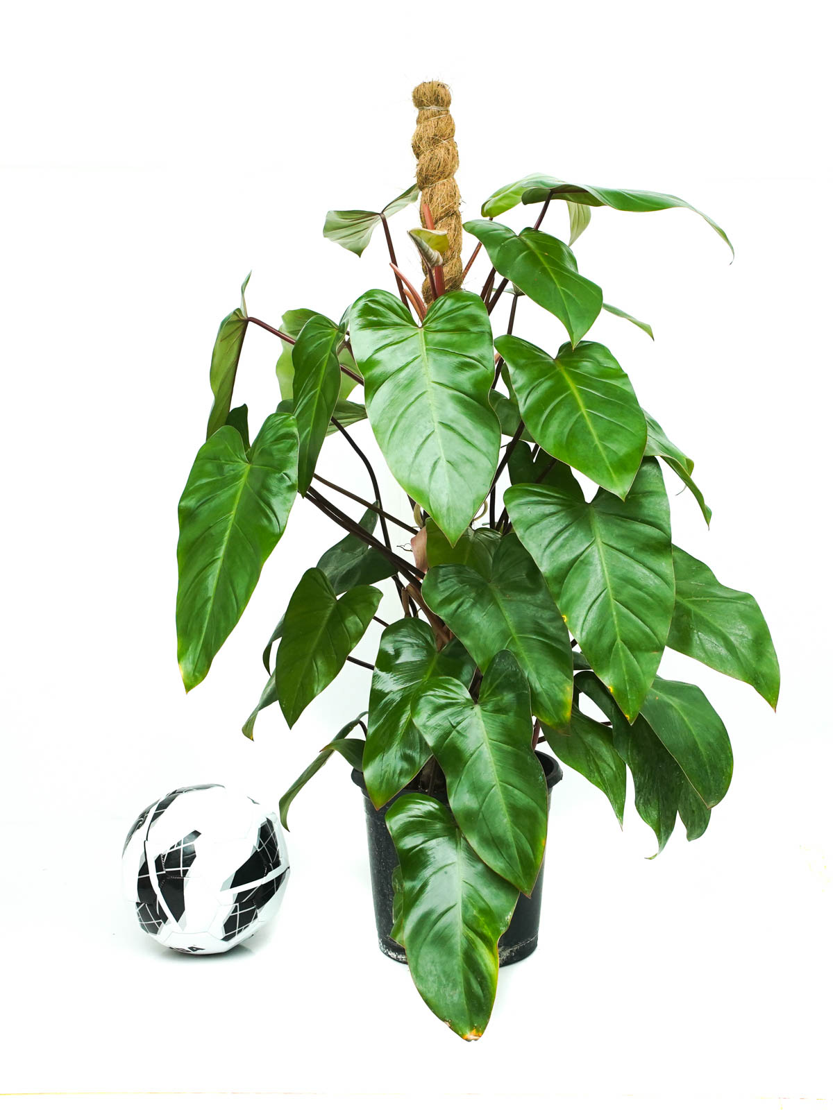 Philodendron Emerald Red Stick Online