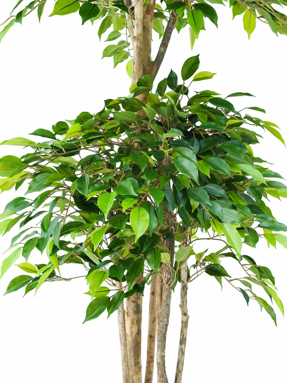 شجرة تين نتاشا ترولبيكال - وسط Online