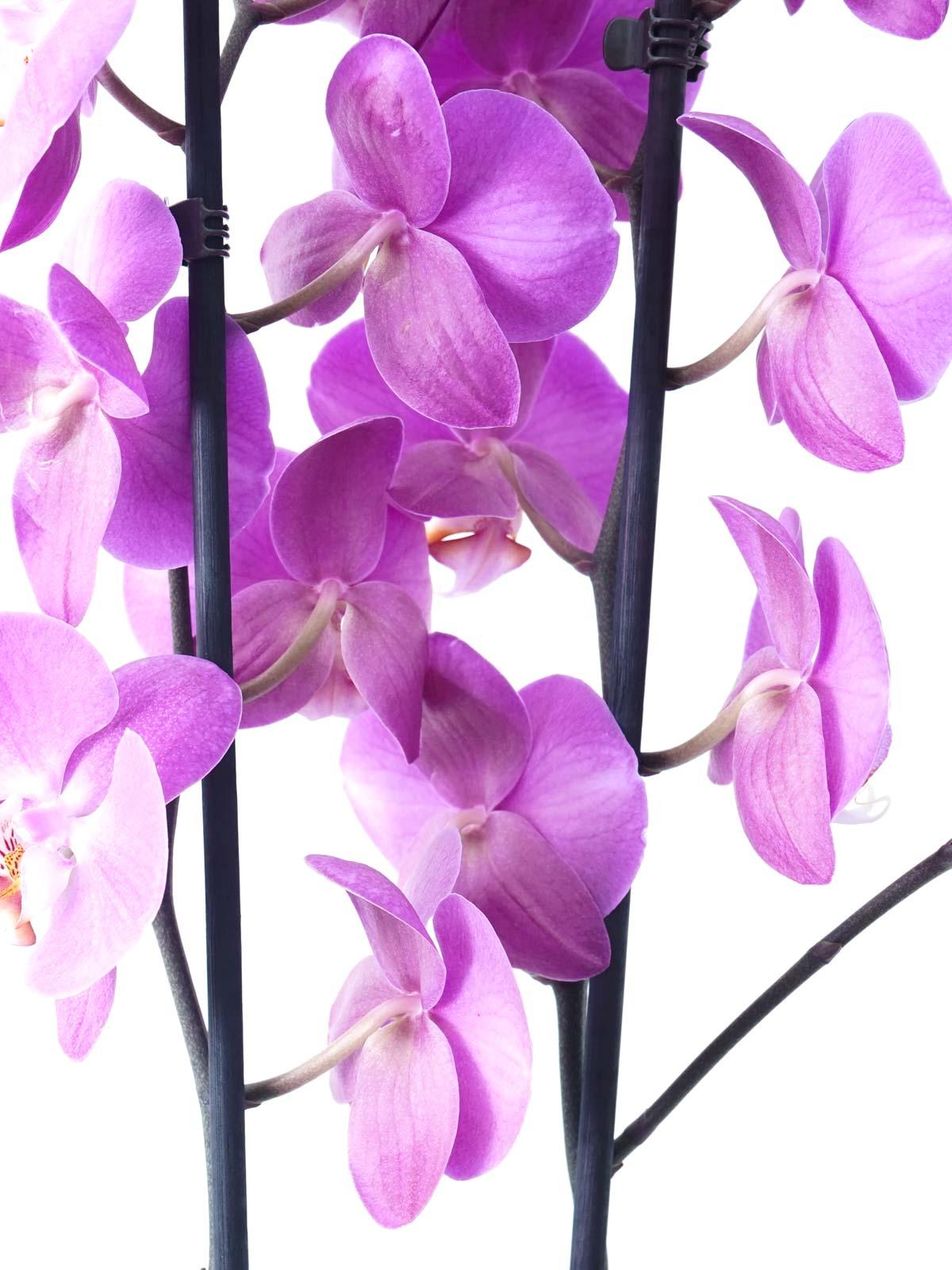 Phalaenopsis Orchid Purple Online