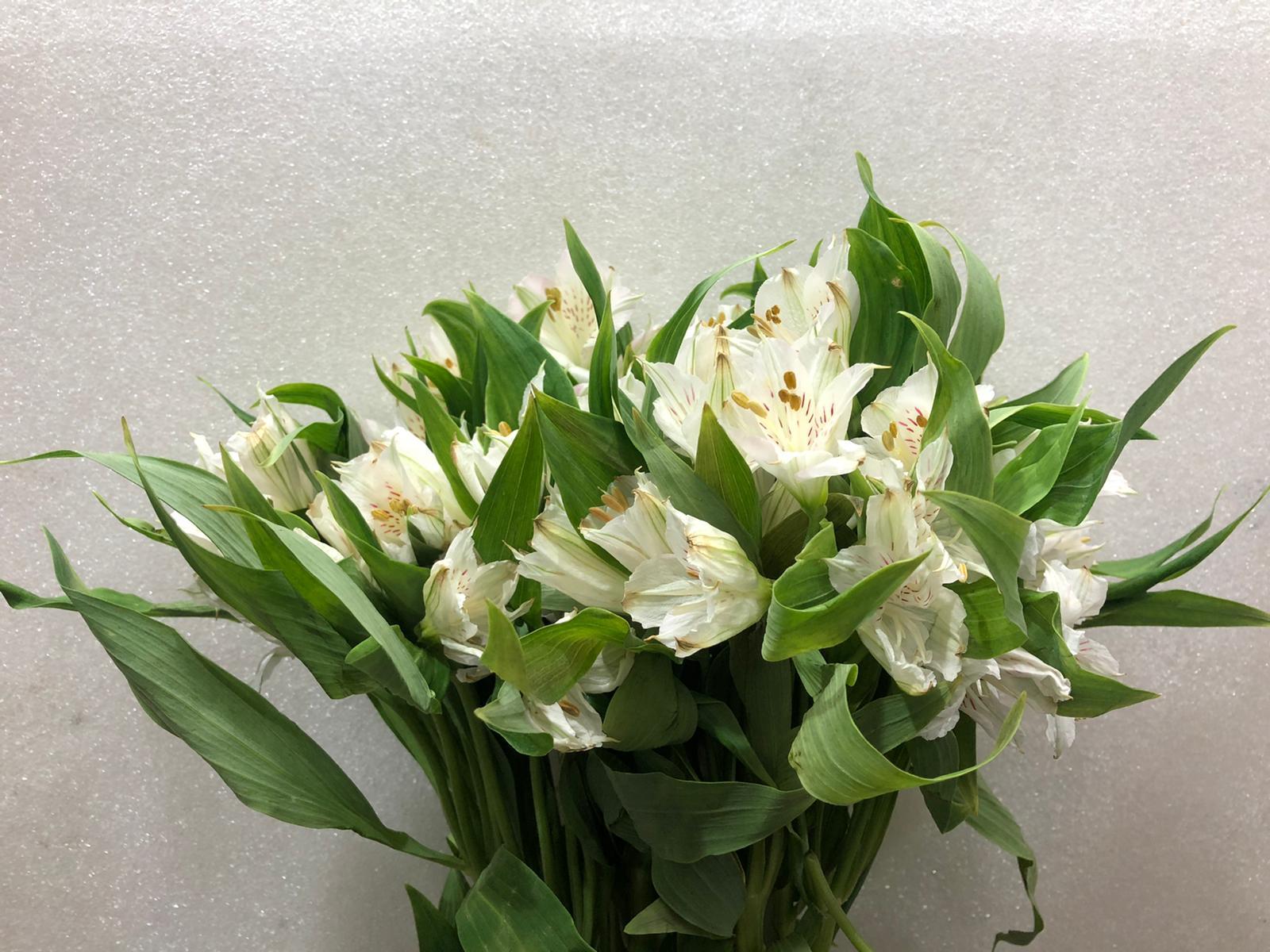 Alstroemeria White Wholesale Flowers Cut Flowers