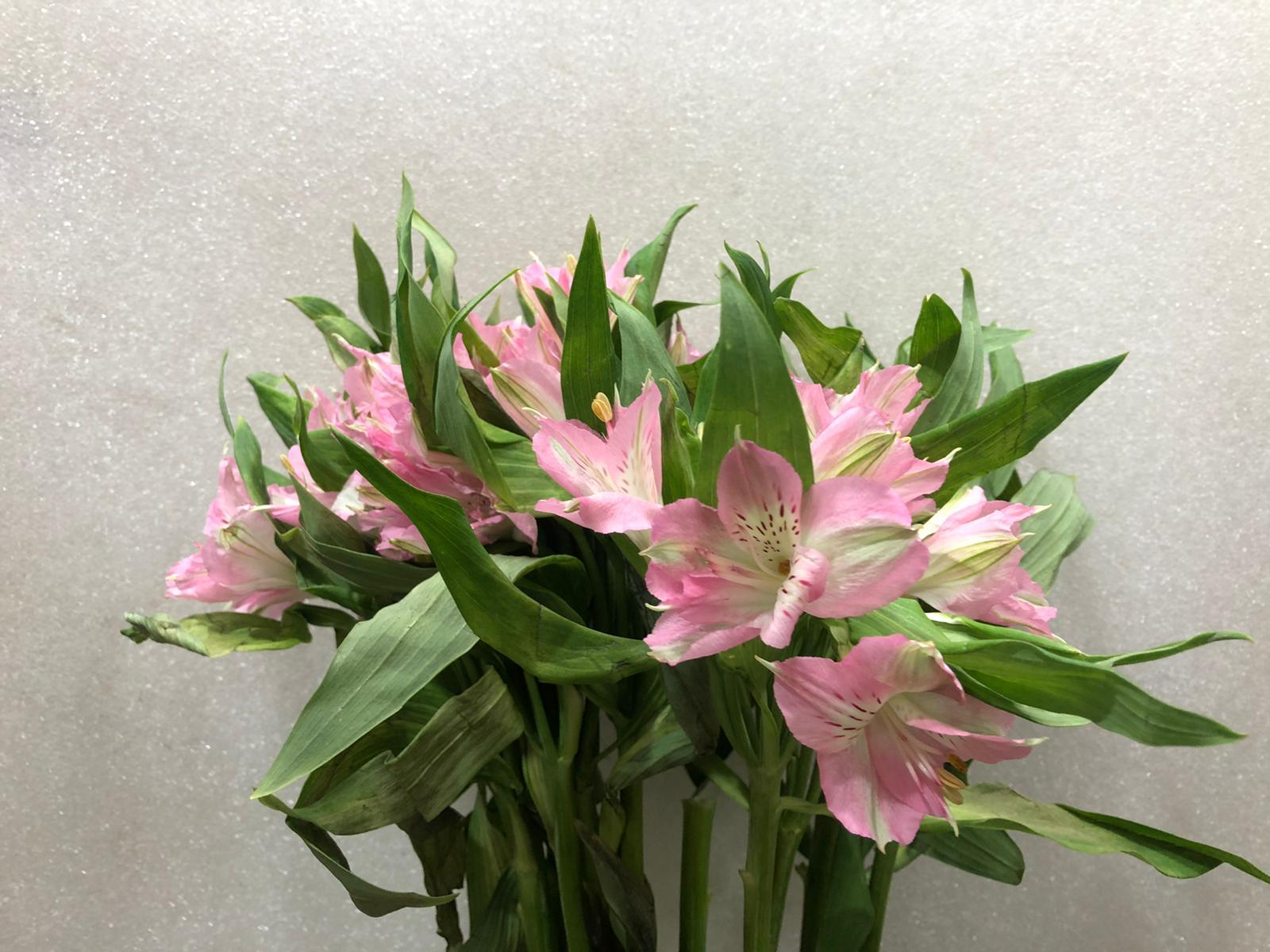 ألستروميريا - وردي ' الزهور بالجملة زهور مقطوفة