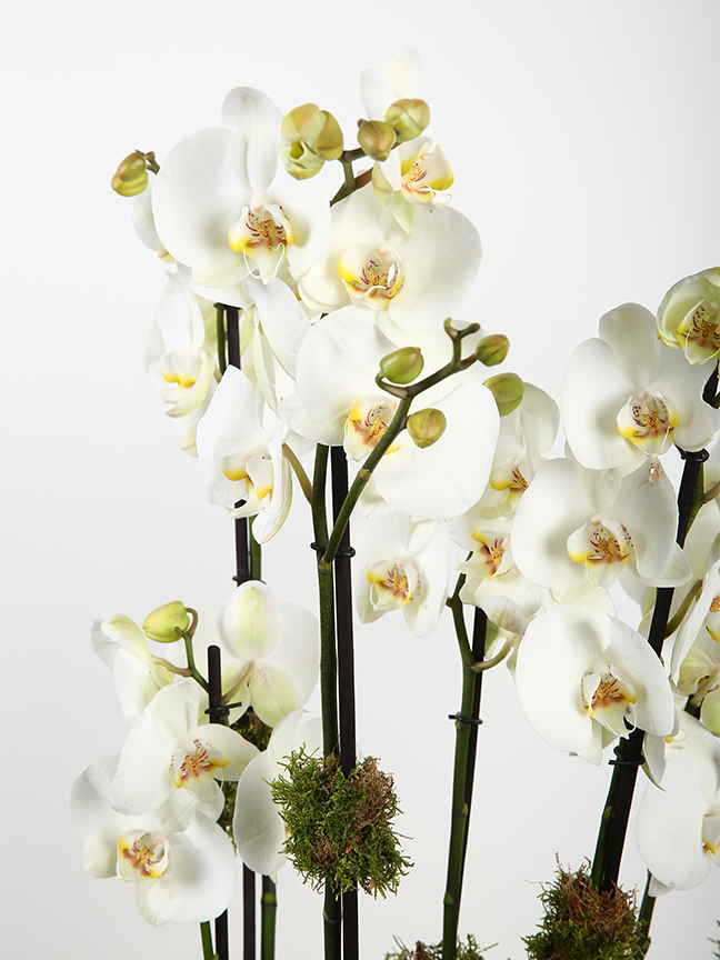 White Orchid Plant  Online